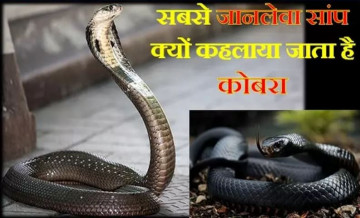 indian cobra, deadly snake