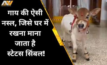 Punganur Cow, andhra pradesh